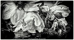 Day 181. (lizzieisdizzy) Tags: blackandwhite blackwhite black bright beautiful whiteandblack white whiteblack water foliage flower frame flora leaves leaf monochrome mono monotone monochromatic droplets dewdrop dew petal petals filament stamen stigma branch twig buds treemallow annual perenial clusters angiosperm reflect reflection glass reflctive