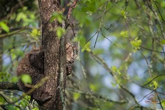 Black Bear Peek a Boo (Glatz Nature Photography) Tags: babyanimal bear bearcub blackbear cub forest minnesota nature nikond5 northamerica northwoods northernminnesota ursusamericanus vinceshutewildlifesanctuary wildanimal wildlife