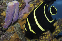 Juvenile Angelfish_Salt Pier_Bonaire _June 2017 1 (R13X) Tags: bonaire underwaterphotography underwatermacrophotography scubadiving diving denlaman dutchcaribbean dutchislands shorediving nikon nikon105mm nikon60mm d7200 juvenileangelfish barireef somethingspecial saltpier torisreef