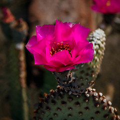 Red Beavertail (http://fineartamerica.com/profiles/robert-bales.ht) Tags: forupload projects arizona cactus red beavertail pricklypear mojave desert anzaborrego opuntiabasilaris sonorandesert dry rocky desertslopes southeasterncalifornia southwestusa brilliant flowers spreadingcactus coloradodeserts barbedbristles glochids yellow white beautiful sensational flower pink petals flora prickle succulent vegetation prickly botany blooming canonshooter haybales robertbales square