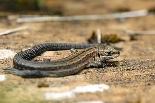 Common Lizard DSC_0582