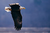 2017.01.28 Bald Eagles in LeClaire 0584 (Mike Gatzke) Tags: leclaire iowa unitedstates usa