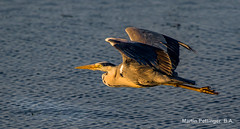 Grey Heron-8010 (martinpettinger) Tags: water land reserve hamwall heron grey sunset england west home heading