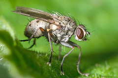 Fly (Shane Jones) Tags: fly insect diptera bug compoundeye wildlife nature nikon d7200 tamron180mmmacro pk3extensiontube pk3x2 macro macrolife macrophotosnolimits macrolicious macromarvels