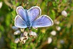 Silver-studded Blue (Plebejus argus) (Jud's Photography) Tags: silverstuddedblue plebejusargus butterfly silverstuddedbluebutterfly shropshire uk insect