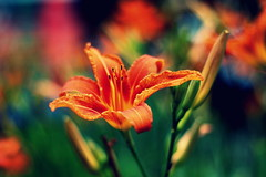 Час для лілій (zool18) Tags: life ligth lily flickr foto flower flora nature canon macro mark2 amazing home summer green garden good gardens color contrast picture outdoor orange botanic bokeh forest red beauty 7d sweet