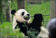 Edinburgh Zoo _ Yang Guang (Michelle O'Connell Photography) Tags: edinburgh edinburghzoo panda yangguang sunshine malepanda ailuropodamelanoleuca giantpanda herbivore scotland scottishzoo michelleoconnellphotography habitat enclosure