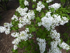 Lombard, IL, Lilacia Park, White Lilac Flowers (Mary Warren 14.2+ Million Views) Tags: lombardil lilaciapark spring blooms blossoms flowers nature flora white lilacs