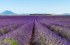 Lavander Field (nicolas.vogt) Tags: lavender provence france lavande champs field nikon d5300