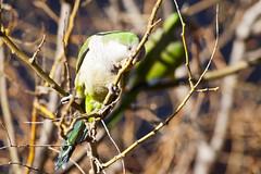 Cotorra_09 (capicua56) Tags: animales cotorra