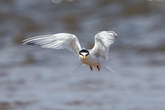 Little Tern (Simon Stobart) Tags: little tern sternula albifrons flying sea crimdon northeast england ngc npc