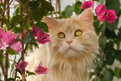 Someone is hiding in the Bougainvillea (FocusPocus Photography) Tags: linus katze kater cat chat gato tier animal haustier pet pflanze plant bougainvillea pink