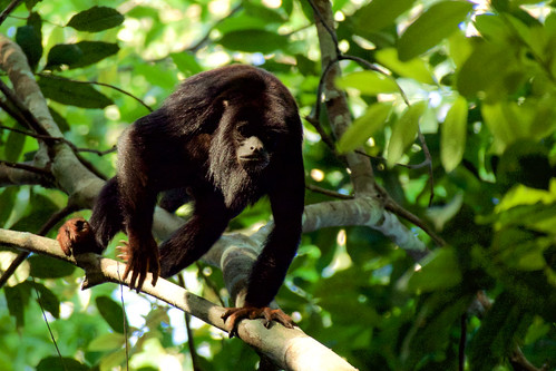brazil-amazon-cristalino-lodge-red-handed-howler-monkey-copyright-thomas-power-pura-aventura