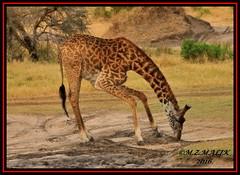 MASAI GIRAFFE (Giraffe camelopardalis tippelskirchii) WITH YELLOW-BILLED OXPECKER (Buphagus africanus Linnaeus)......MASAI MARA......SEPT 2016 (M Z Malik) Tags: nikon d3x 200400mm14afs kenya africa safari wildlife masaimara keekoroklodge exoticafricanwildlife ngc npc