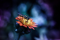 Sony a7 50mm (Jasrmcf) Tags: ilce7 sel50f18f sony sonya7 sonylens sonyalpha macro macros macrotube smooth dof bokeh bokehlicious bokehgraph vintage fly insect nature ngc greatphotographers colourartaward flowers flower petals dreamy dramatic beautiful