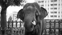 Big guy in the cage (lin.chinhu) Tags: elephant big huge massive bigguy animal animalplanet sad sadness eyes saigon vietnam zoo thezoo blackandwhite bư portrait bw