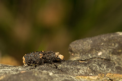 Fungus weevil (Jens Hyldstrup Larsen) Tags: platyrhinusresinosus fungusweevil biller coleoptera bredsnudebiller anthribidae