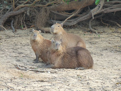 P1010984.jpg (fatwaller) Tags: mamifère amérique capybara nature animal terrestre venezuela