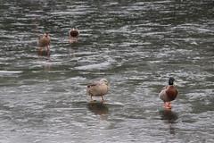 Timaru Scenic Reserve (ambodavenz) Tags: timaru scenic reserve nature winter south canterbury new zealand duck ducks bird water ice frozen