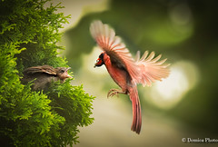 Dad Cardinal feeding baby / Bébé cardinal nourrie par son papa [in explore 13 july 2017] (Domica Photo) Tags: bird animal nature red wildlife beak feather animalwing multicolored outdoors beautyinnature closeup flying branch birdwatching animalsinthewild colorimage oneanimal cardinal baby cardinalbaby bébécardinal bébé backyard