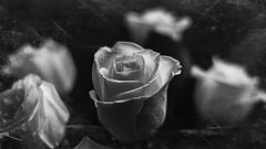 white rose 09260 (m.r. nelson) Tags: stilllife artphotography blackwhite bw blackandwhite monochrome mrnelson marknelson markinaz white roses