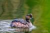 Eared Grebe (craig goettsch) Tags: earedgrebe hendersonbirdviewingpreserve2017 nevada bird avian green reflection nature wildlife nikon d500