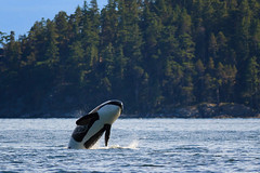Reasons to Love Vancouver Island in Summer: #1 Orcas (Anne McKinnell) Tags: orcinusorca britishcolumbia campbellriver canada georgiastrait killerwhale ocean orca pacific vancouverisland whale animal wildlife