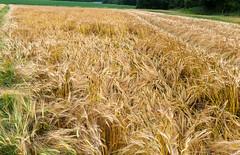 DSC_6157 (Adrian Royle) Tags: lincolnshire lincolnshirewolds crops footpath fields nikon bimble walk