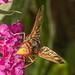 Hornet Hoverfly on Buddleia