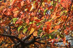Sunlit autumn leaves (Karen Pincott) Tags: autumn autumnleaves orange red riddifordgardens lowerhutt newzealand tree