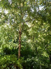 воскресенье-4 (Horosho.Gromko.) Tags: лето солнце деревья природа видизокна summer trees sunny береза