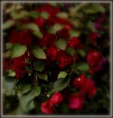 Bouganvillea (dona(bluesea)) Tags: fiori flowers bouganvillea giardino garden marsala sicilia sicily