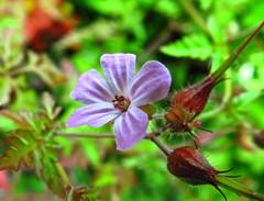 3187 Herb Robert - Geranium robertianum. (Andy - Busyyyyyyyyy) Tags: fff flower ggg herbrobertgeraniumrobertianum hhh annual aaa