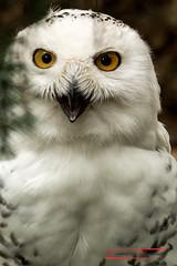 Snow Owl (Bubo scandiacus) (Thoober) Tags: 2017 canon duisburg eos tiere zoo animals owl eule buboscandiacus tier raptor 70d tamron150600 white weis eyes augen thebiggestgroupwithallkindofanimals