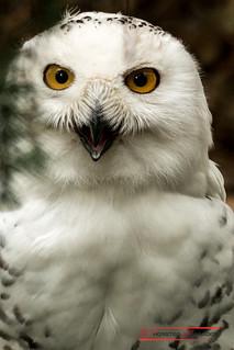 Snow Owl (Bubo scandiacus)