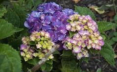 hydrangea stages (MissyPenny) Tags: hydrangeas blue flower garden bristolpennsylvania usa