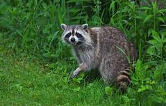 Raccoon (ashockenberry) Tags: raccoon nature naturephotography wildlife mammal marsh masked teeth tail ontariowildlife ontarionature