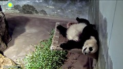 2017_07-06b (gkoo19681) Tags: beibei chubbycubby fuzzywuzzy feetsies toofers bigbelly beingadorable toocute naptime dangling ccncby nationalzoo