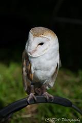 DSC_9537 (fjaphotography.co.uk) Tags: birds birdsofprrey daresbury steam england unitedkingdom gb