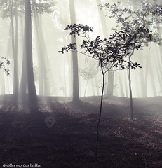 Beautiful morning light (Guillermo Carballa) Tags: trees oak pines fog mist light forest woods morning carballa lx5