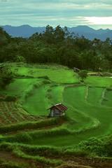 The Green Fields (brusca) Tags: greenfields indonesia mountains mysumatra photography sumatra travel visitsumatra westsumatra