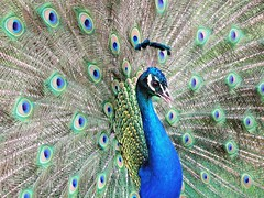 Peacock (PhotoLoonie) Tags: peacock feathers colours colourful bird eyes peafowl