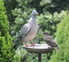 Woodpigeon and Starling (the.haggishunter) Tags: wild wildlife nature bird garden birdtable food pigeon woodpigeon starling