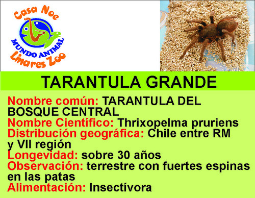 tarantula grande