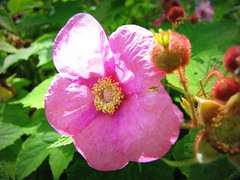 SOFT PINK (Patchwork Daily Desire) Tags: water walking nature flower wildeflowers wild pink purple sunflower summer sun