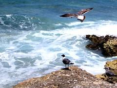 Taking off (thomasgorman1) Tags: gulls birds seabirds seagulls rocks lavarock beach ocean sea flying mexico island isla mujeres coast shore canon