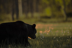 Brown Bear (Ron Fullelove) Tags: ronfullelove photography brown bear mammal forest finland ursus arctos silhouette cotton grass light sunset
