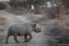South Africa (475 of 810) (gracemcleod94) Tags: buffaloland africa black blackrhino dehorned rhino south