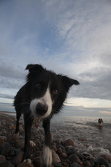 I hope you brought my ball...as well as that camera (John - Nash) Tags: cumbria lakedistrict nature eskmeals waberthwaite beach dog collie springer sunset uk yellow cloud black white blue sky