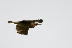 Bittern Upton NWT 2 (JohnMannPhoto) Tags: bittern upton nwt norfolk bird